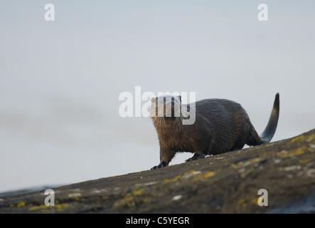 Unión nutria Lutra lutra húmedo pausas adulto en unas rocas en una remota costa Escocesa. Isle Of Mull, Imagen De Stock