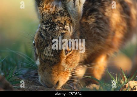 BROWN LIEBRE Lepus europaeus un macho adulto siguiendo el olor de una hembra durante la temporada de cría. Imagen De Stock