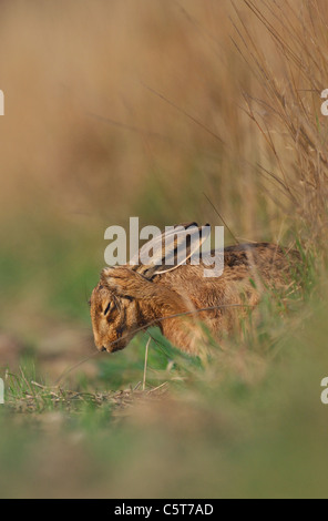 BROWN LIEBRE Lepus europaeus Perfil de un adulto lavando sus oídos mientras descansa en un campo Margen. Derbyshire, Imagen De Stock