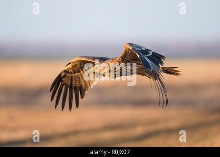 Águila Imperial Oriental (Aquila heliaca) en vuelo en invierno a lo largo de pastizales, Hungría Imagen De Stock