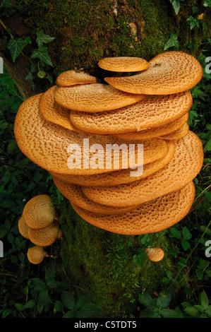 Caballete de las dríadas Polyporus squamosus ejemplo excepcional de esta polypore hongos creciendo en un bosque Imagen De Stock