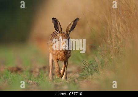 BROWN LIEBRE Lepus europaeus retrato de una alerta que recorre un campo margen directamente hacia el fotógrafo. Imagen De Stock