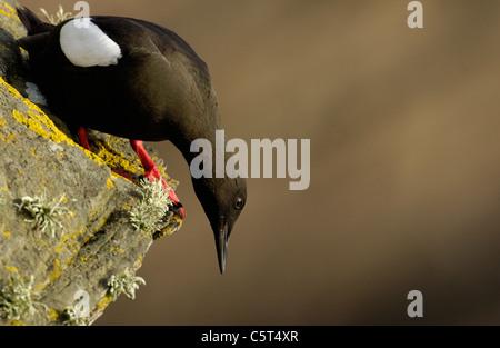 GUILLEMOT NEGRO Cepphus grylle Un adulto mirando por encima del borde del acantilado sobre el que se alza. Las Islas Imagen De Stock