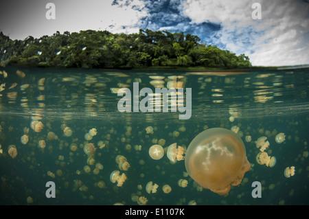 Un grupo de medusas, Jellyfish Lake, Palau (Mastigias) Imagen De Stock