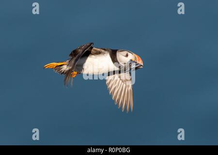 Frailecillo atlántico (Fratercula arctica) en vuelo sobre el mar, con un pico lleno de anguilas de arena Imagen De Stock