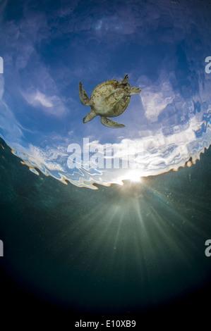 Tortuga de Mar Verde, isla Sipdan Malasia (Chelonia mydas) Imagen De Stock