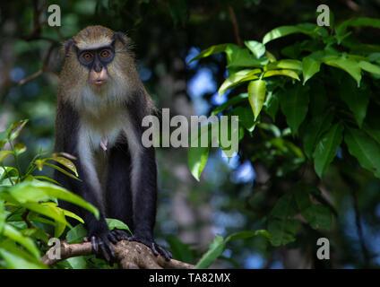 Mirando mono macaco en la selva, Región Tonkpi, hombre, de Costa de Marfil Imagen De Stock