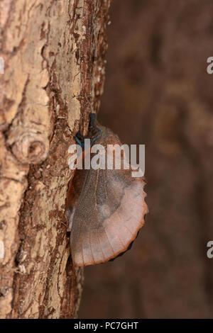 (Polilla Lappet Gastropacha quercifolia) adulto en reposo en el tronco del árbol, Oxfordshire, Julio Imagen De Stock