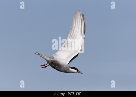 Whiskered Tern (Chlidonias hybrida) verano plumaje adulto, volando, Delta del Danubio, Rumania, Junio Imagen De Stock