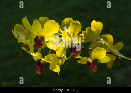 Orquídea amarilla Dendrobium contra verde (césped) antecedentes en Tailandia Garden - Contre Jour Imagen De Stock