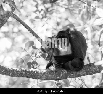 Yucatan mono araña sentada en la rama de un árbol en el bosque en impresionante blanco y negro Imagen De Stock