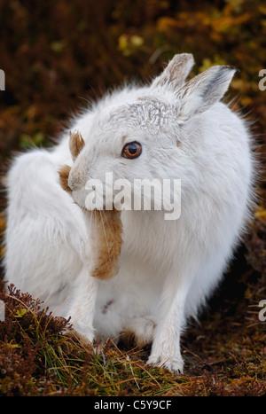 MOUNTAIN LIEBRE Lepus timidus close up retrato de un adulto grooming sus grandes pies traseros. Las Montañas Imagen De Stock