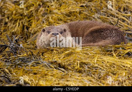 Unión nutria Lutra lutra un adulto húmedo descansando entre las algas en una remota costa Escocesa. Isle Imagen De Stock