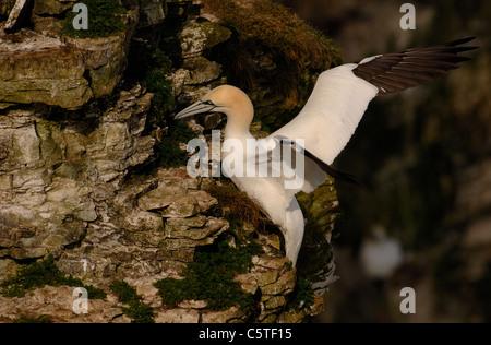 Norte de Gannett Morus bassanus adulto aterrizar en la cima del acantilado. De mayo. Acantilados Bempton Reserva Imagen De Stock