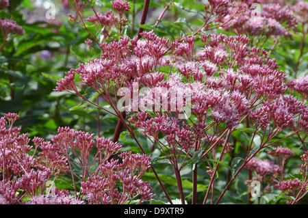 Floración verano Euphatorium maculatum Atropurpurem - Cáñamo agrimony Imagen De Stock