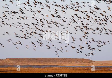 Brent gansos en vuelo de aterrizaje, pantanos, cley cley-junto al mar, en el norte de Norfolk, Inglaterra Imagen De Stock