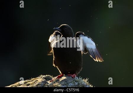 GUILLEMOT Cepphus grylle negro adulto seca sus alas en la luz del atardecer. Julio. Islas Shetland (Escocia, Reino Imagen De Stock