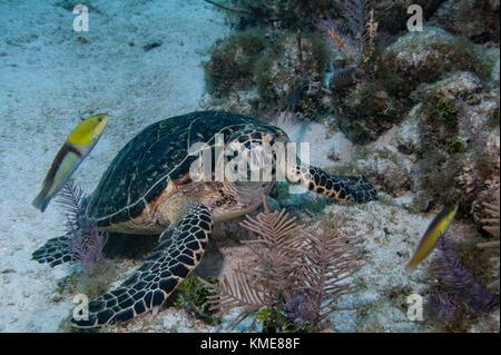 La tortuga carey, key largo Imagen De Stock