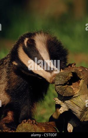 Tejón Meles meles retrato de un salvaje sub-adulto cazando un registro caídos a finales del verano de Imagen De Stock