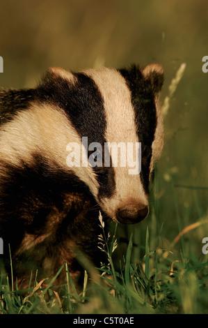 Tejón Meles meles retrato de un salvaje sub-adulto forrajeando a finales del verano de luz del atardecer. Julio. Imagen De Stock