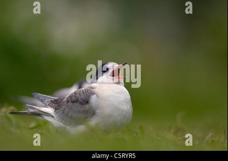 El charrán ártico Sterna paradisaea una creciente chick suplica con impaciencia para alimentos de sus Imagen De Stock