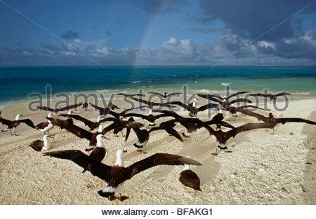 Los menores albatros Laysan Phoebastria immutabilis extendiendo las alas, Hawai, Islas de Sotavento Imagen De Stock