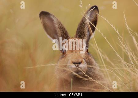 MOUNTAIN LIEBRE Lepus timidus retrato de un adulto en su pelaje marrón de verano entre los páramos de Imagen De Stock