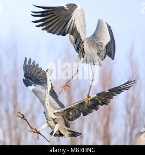 Las garzas grises (Ardea Cinera) en vuelo combates Imagen De Stock