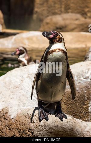 Pingüinos de Humboldt (Spheniscus Humboldt) en un zoo, el Zoo de Barcelona, Barcelona, Cataluña, España Imagen De Stock