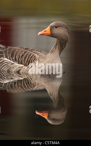 GRAYLAG GOOSE Anser anser pájaro adulto reflejado en las tranquilas aguas del río Lea cerca de Hackney Imagen De Stock