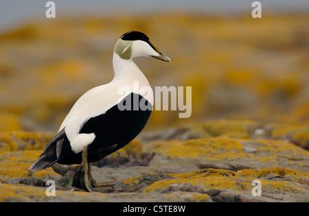 EIDER Somateria mollissima un macho adulto para caminar entre rocas cubiertas de líquenes. Islas Farne, REINO Imagen De Stock