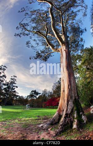 Hermoso árbol torres sobre los terrenos de Mount Stewart, Irlanda del Norte. Imagen De Stock