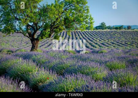 Lone Tree en campo púrpura de lavanda a lo largo de la Meseta de Valensole, Provenza Francia Imagen De Stock