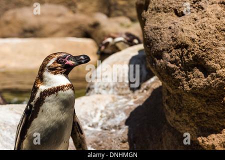 Pingüino de Humboldt (Spheniscus Humboldt) en un zoo, el Zoo de Barcelona, Barcelona, Cataluña, España Imagen De Stock