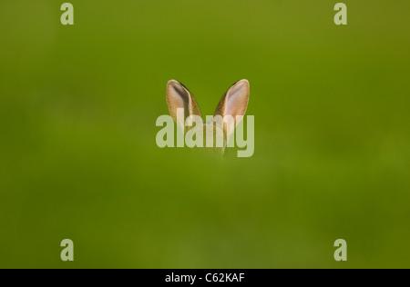 Conejo Oryctolagus cuniculus una alerta conejos orejas sobresalgan por encima de un banco de césped Norfolk, Imagen De Stock