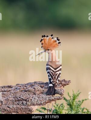 Eurasiática Abubilla (Upupa epops) donde se posan en una rama, planteadas con cresta, Hungría Imagen De Stock