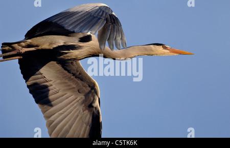 Garza Real Ardea cinerea cerca de un adulto en vuelo encima. De marzo. Nottinghamshire, REINO UNIDO Imagen De Stock
