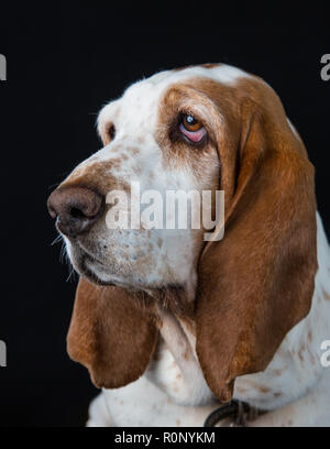 Close-up de un Basset Hound mira fijamente a distancia Imagen De Stock