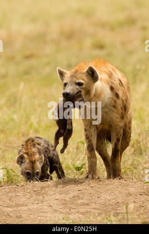 Spotted Hyena llevando jóvenes, la reserva Masai Mara, Kenya, Africa (Crocuta crocuta) Imagen De Stock