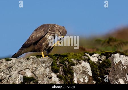 Ratonero Buteo buteo un crédulo adulto de limpiarse con sus garras sobre una roca en el camino. Octubre Isle Imagen De Stock