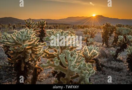 Cholla Cactus Garden al amanecer, el Parque Nacional Joshua Tree National Park, California, Estados Unidos Imagen De Stock