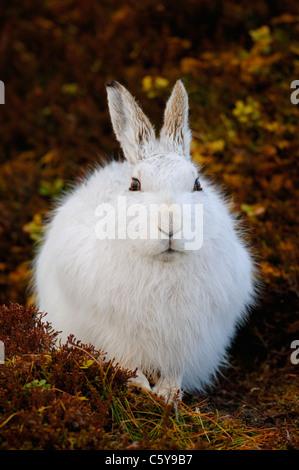 MOUNTAIN LIEBRE Lepus timidus retrato de un conspicuo adulto en su abrigo blanco. Las Montañas Monadhliath, Imagen De Stock