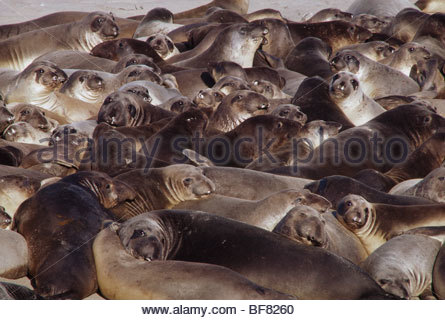 Norte de elefantes marinos Mirounga angustirostris, Ano Nuevo Reserva Estatal, California Imagen De Stock
