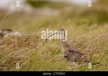 Numenius arquata zarapito adulto forrajeando en un prado herboso. Julio. Islas Shetland (Escocia, Reino Unido) Imagen De Stock