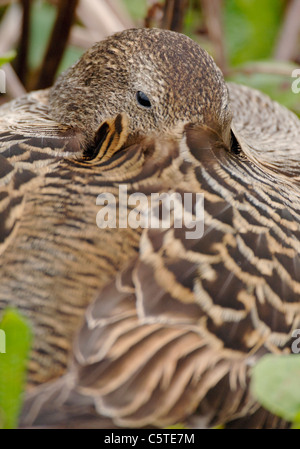 EIDER Somateria mollissima una hembra adulta descansando en su nido. Islas Farne, REINO UNIDO Imagen De Stock