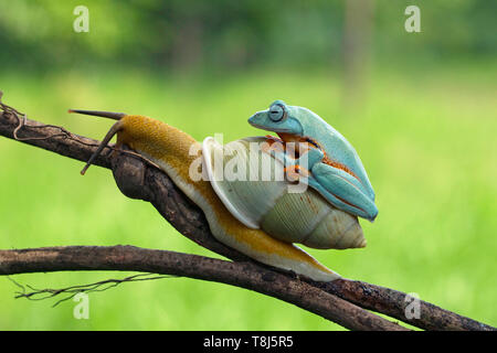 Javán Tree Frog encima de un caracol, Indonesia Imagen De Stock
