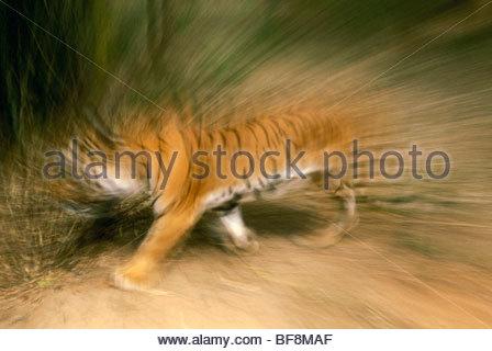 Tigre de Bengala en movimiento, Panthera tigris tigris, nativa de la India Imagen De Stock