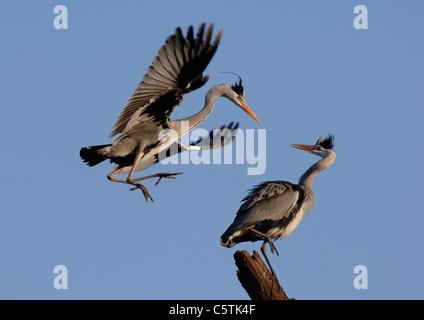 Garza Real Ardea cinerea un macho adulto (izquierda) se prepara para aterrizar en una hembra antes de la cópula. Imagen De Stock