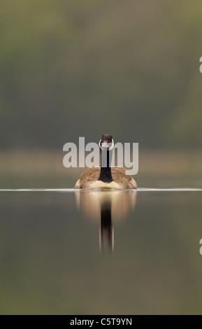 Canadá ganso Branta canadensis un adulto en un tranquilo lago al amanecer. Derbyshire, el fotógrafo británico.Andrew Imagen De Stock