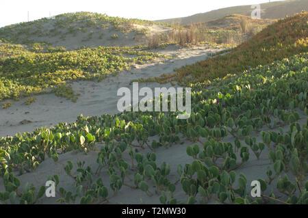 Las plantas nativas de las dunas en la playa de Surf cerca de Lompoc, California central coast. Fotografía Digital. Imagen De Stock